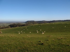 Sheep grazing on the Sundon Hills