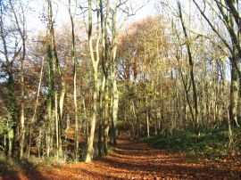 Beech Trees, Sharpenhoe Clappers