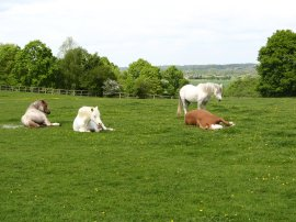 Horses relaxing on the path