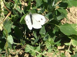 Large? White Butterfly