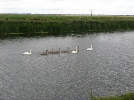 Swans on the River Great Ouse