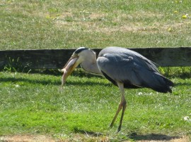 A Heron with its catch