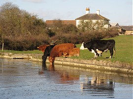 Some cattle having a drink