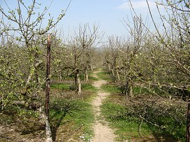 Orchard nr Little Chart