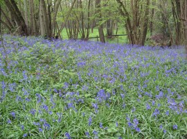 Bluebells nr Coldbridge Wood