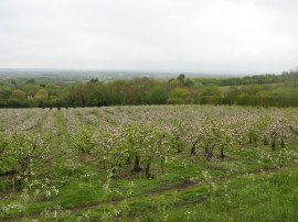 Orchards nr Chart Sutton