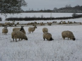 Sheep nr Roydon