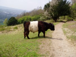 Belted Galloway Cow, Box Hill