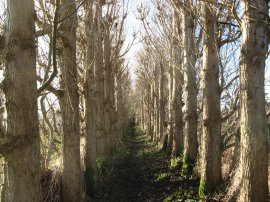 Tree Lined path nr Old Wives Lees