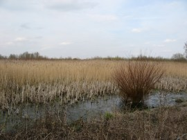 Reed lined lake