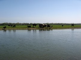 Cattle, Port Meadow