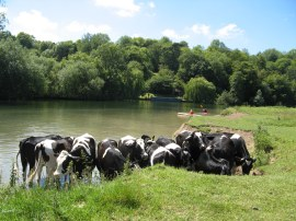 Cows having a paddle