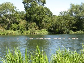 Line of geese on the river