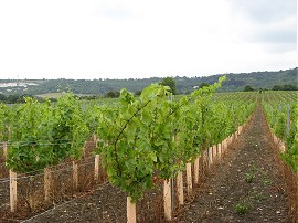Vineyard nr Eccles