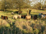 Sheep, Patmore Heath