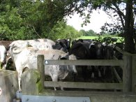 Cows at the kissing gate