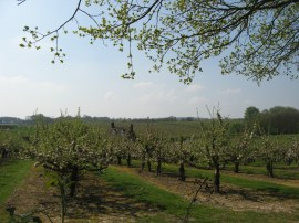 Orchards nr Matfield