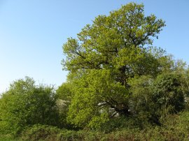 Oak Tree, Jubilee Country Park