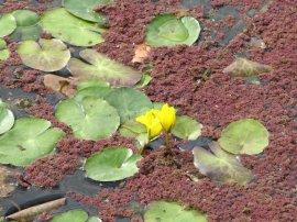 Yellow Water-lily