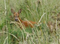 Deer, Epsom Common