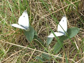 Small White butterflies