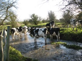 Cows in the River Stour, nr Egerton