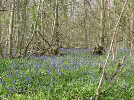 Great Wood, East Hoathly
