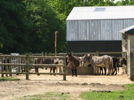 Donkeys, Hempstead Farm Stud