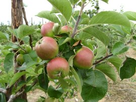 Apples, Crowhurst Farm