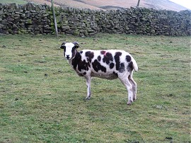 A spotted sheep