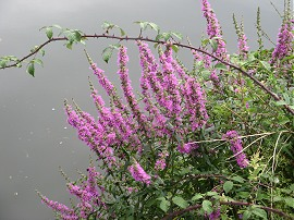 Flowers besides the river
